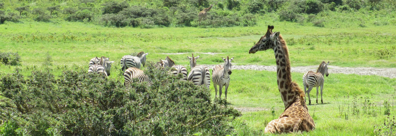 Girrafes and Zebras