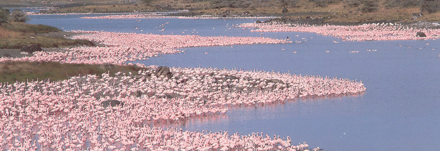 Flamingos at Lake Momela