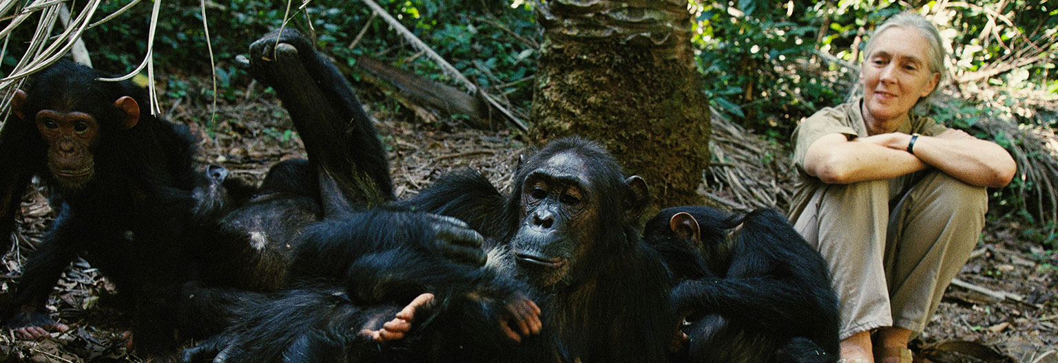 Jane Goodall and chimps, Photo by National Geographics