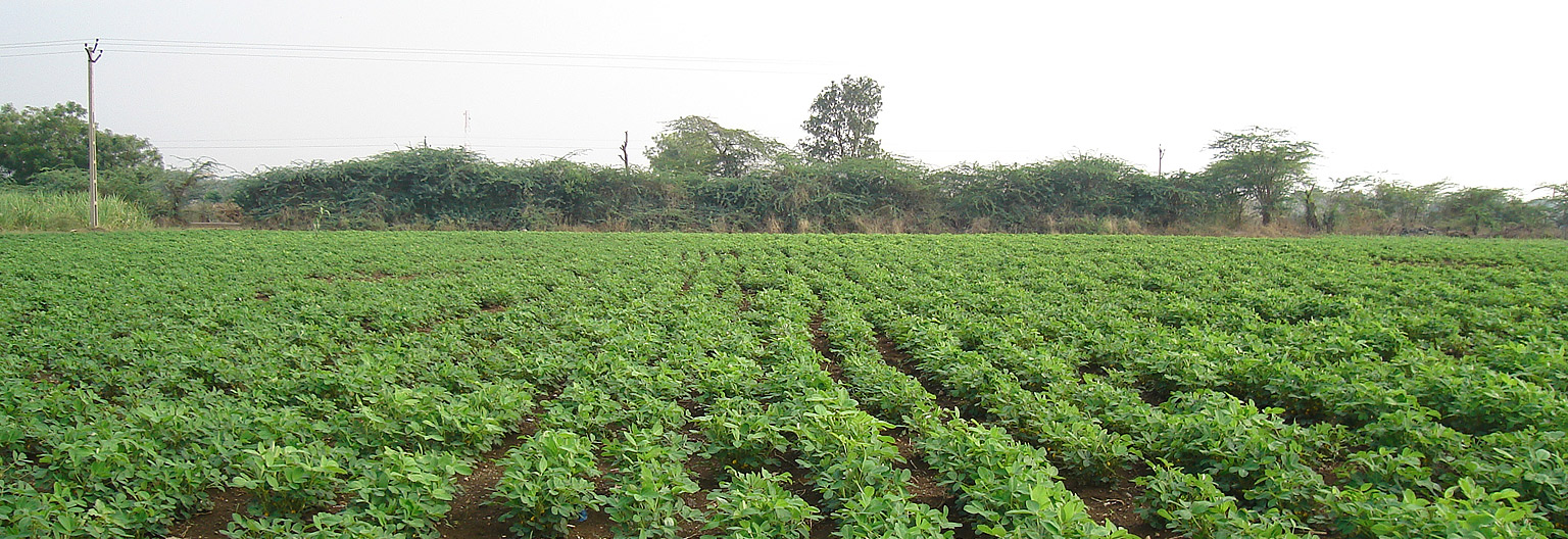 Nachingwea, Groundnuts plantations