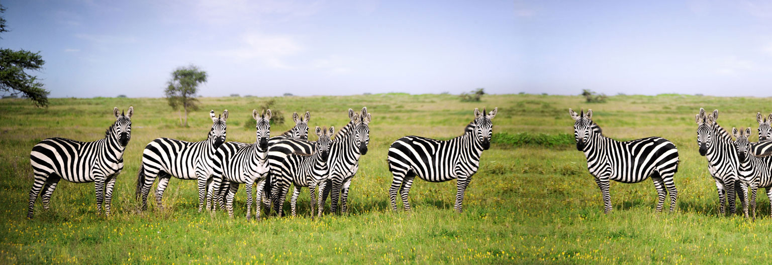 Katavi National Park, Zebras