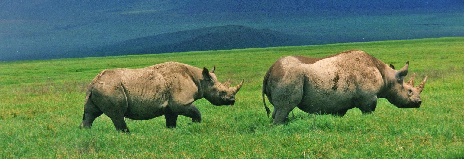 Rhinos in the Crater