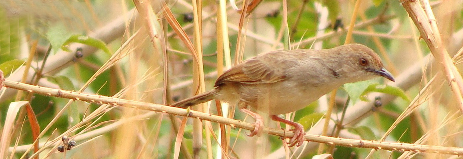 Njombe Cisticola seedeater