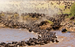 Serengeti wilderbeasts migration